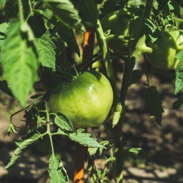 Duży ogród warzywny na własny użytek