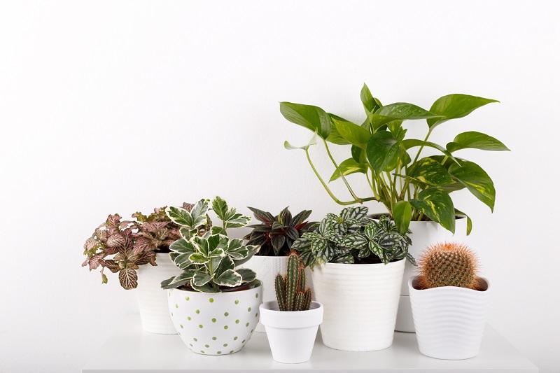 Ochrona roślin doniczkowych podczas zimy.